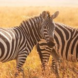 African zebras