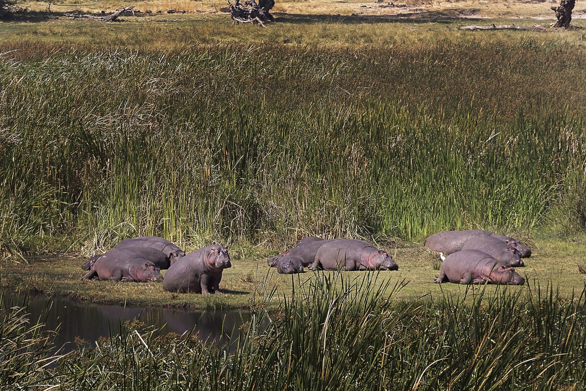 hippos laying in ngorongoro crater