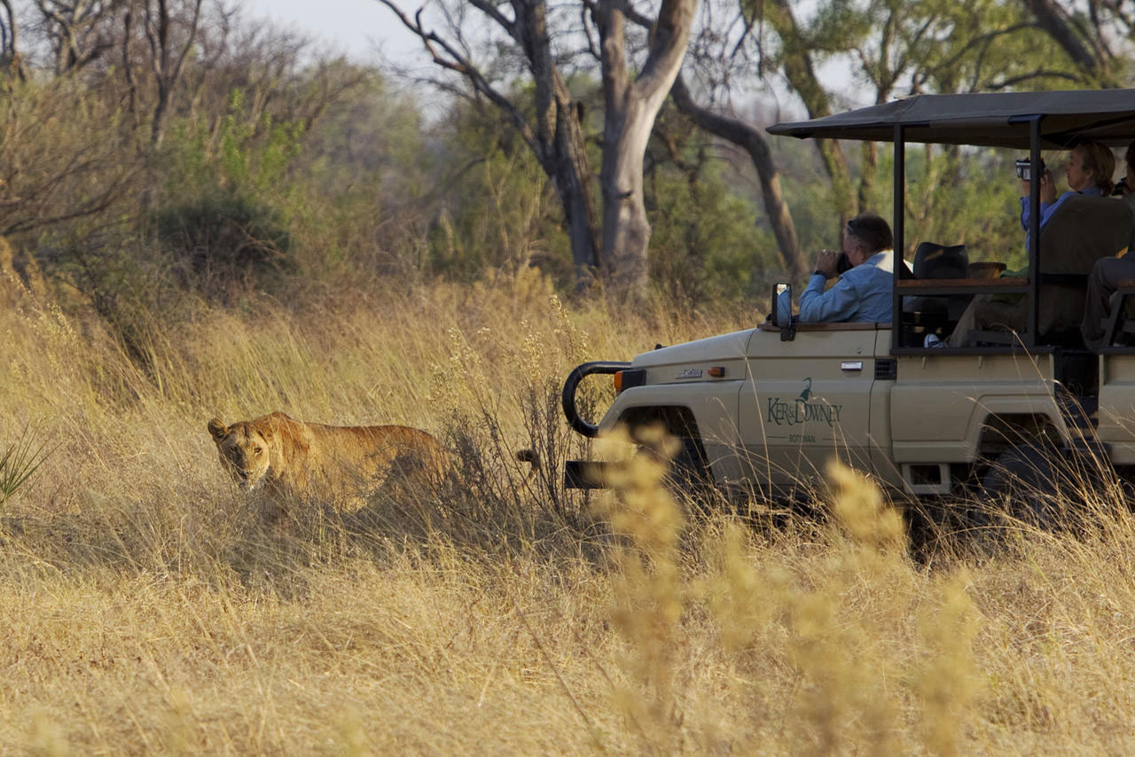 Lion Spotted On Game Drive Safari