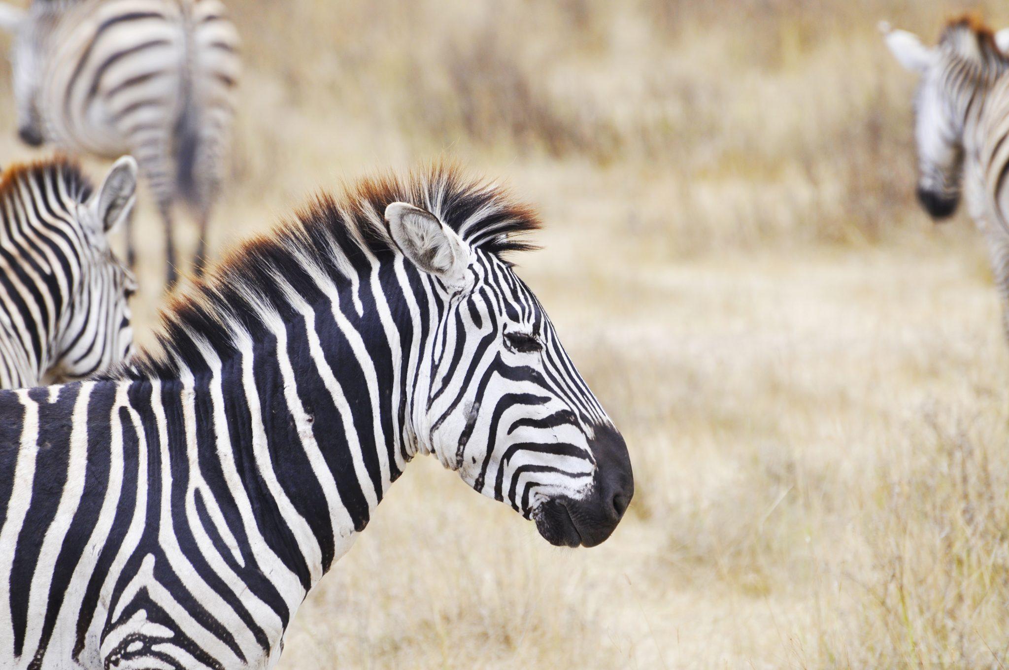 zebras of safari