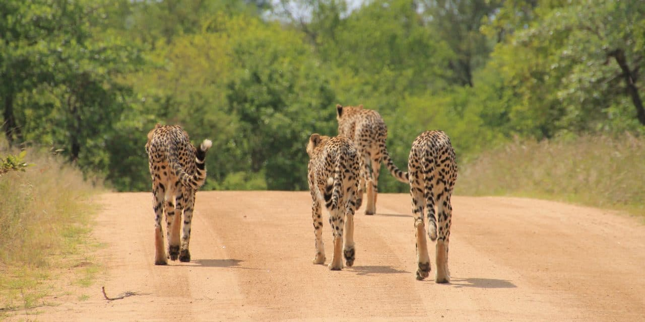 https://www.safariventures.com/wp-content/uploads/2019/01/cheetah-1043273_1920-1-1280x640.jpg