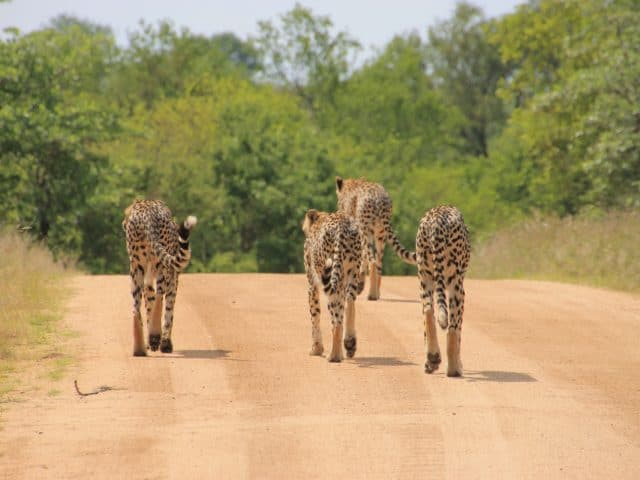 https://www.safariventures.com/wp-content/uploads/2019/01/cheetah-1043273_1920-1-640x480.jpg