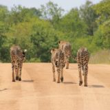 https://www.safariventures.com/wp-content/uploads/2019/01/cheetah-1043273_1920-160x160.jpg