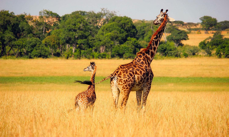 two giraffes. a baby giraffe