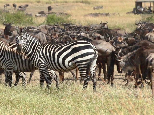 https://www.safariventures.com/wp-content/uploads/2019/01/kimondo-camp-annual-migration-640x480.jpg