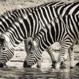 https://www.safariventures.com/wp-content/uploads/2019/01/zebra-3044577_1920-160x160.jpg