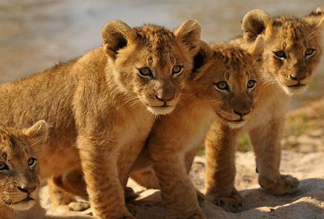 https://www.safariventures.com/wp-content/uploads/2019/02/INY_Othawa_cubs-update-640x432.jpg