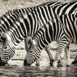 Zebras Drinking At The Waterhole
