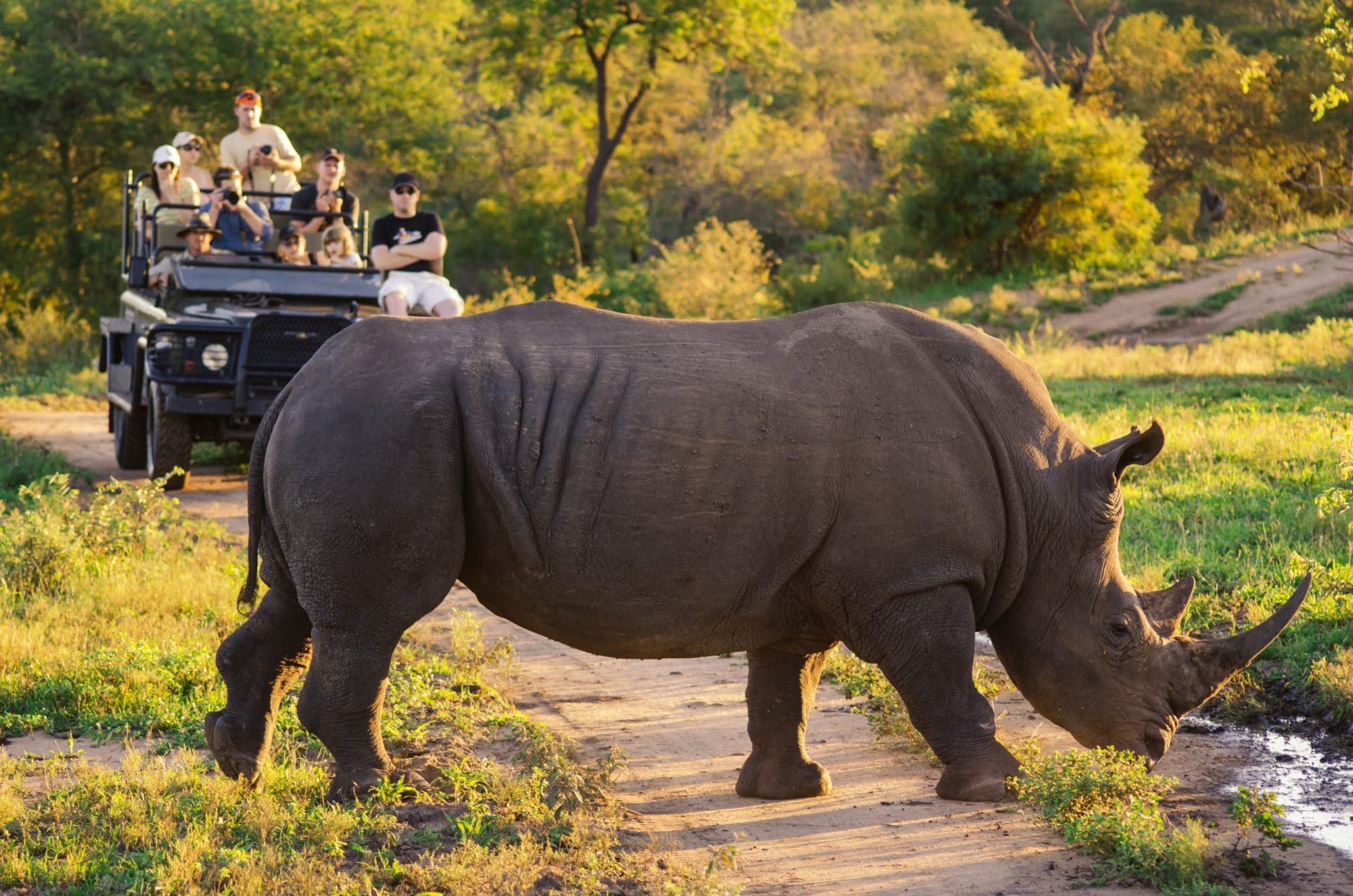 rhino crossing in front of travelers that are on a game drive