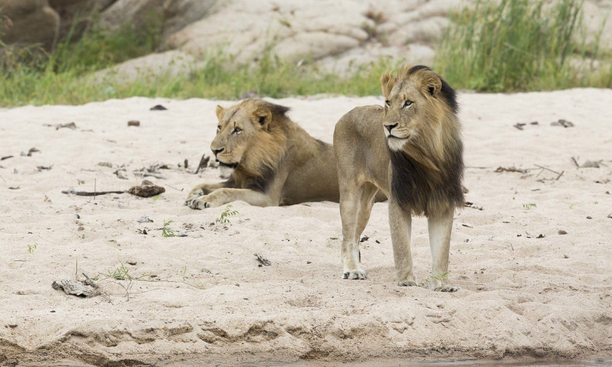 lions at Sabi Sand Game Reserve