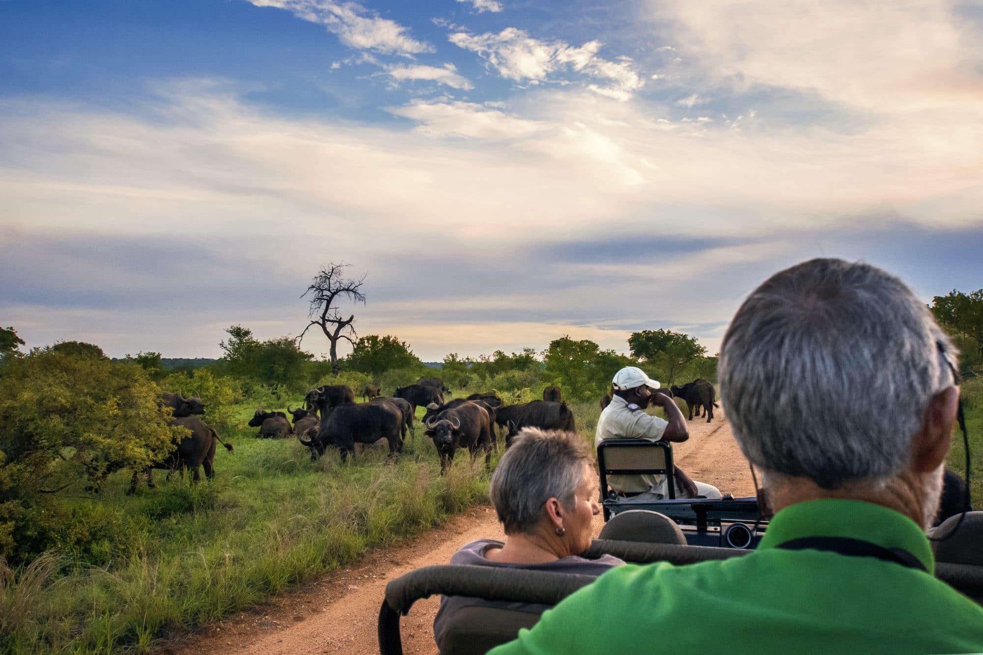 herd of buffalo seen during a safari game drive