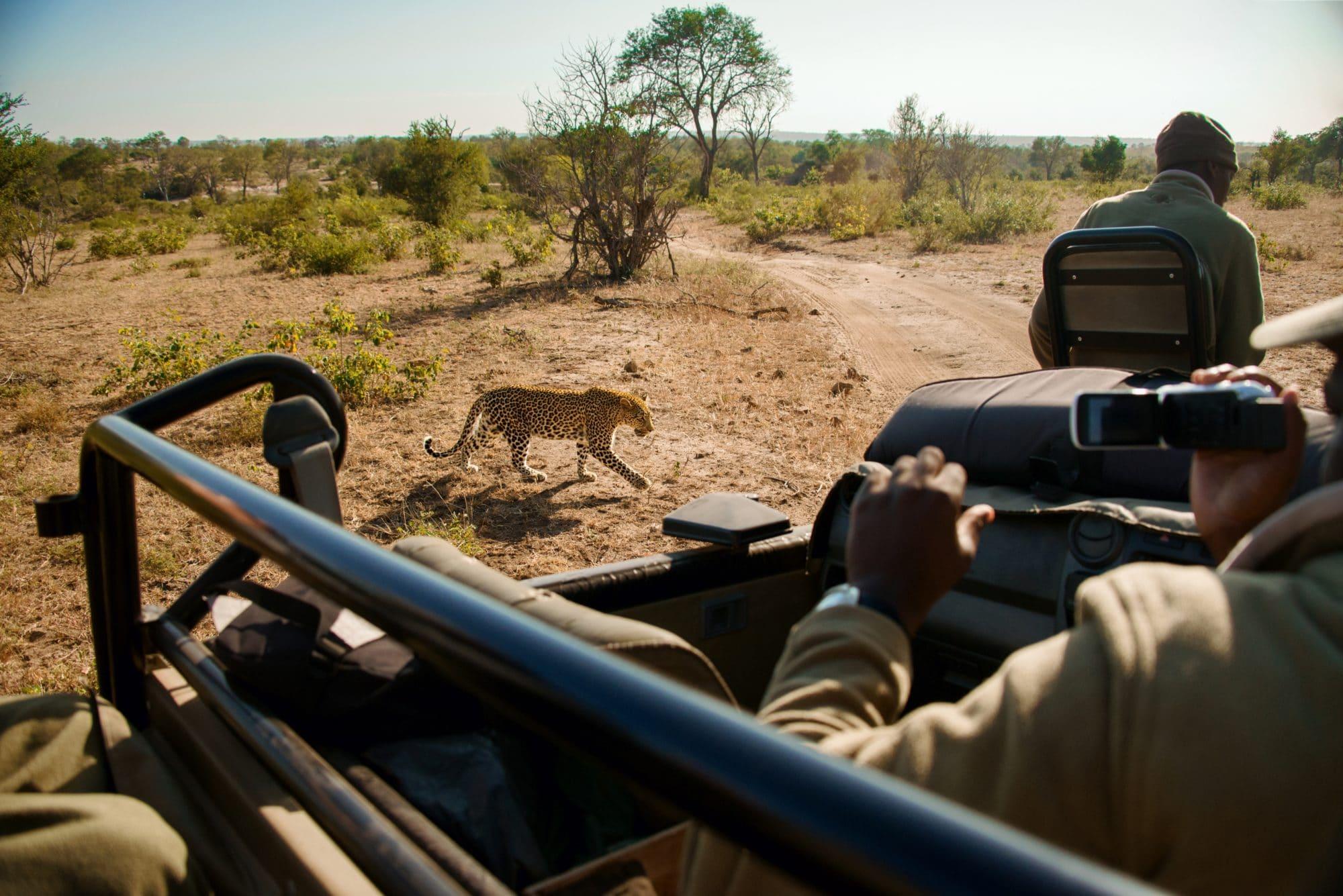 leopard walking seen on a safari game drive
