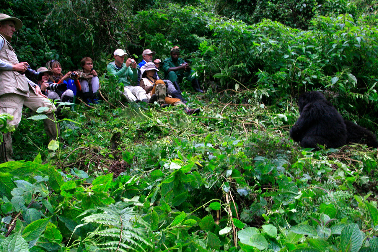 People taking photos of gorillas while on a gorilla trek