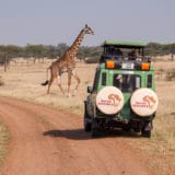 Serengeti Safari giraffe