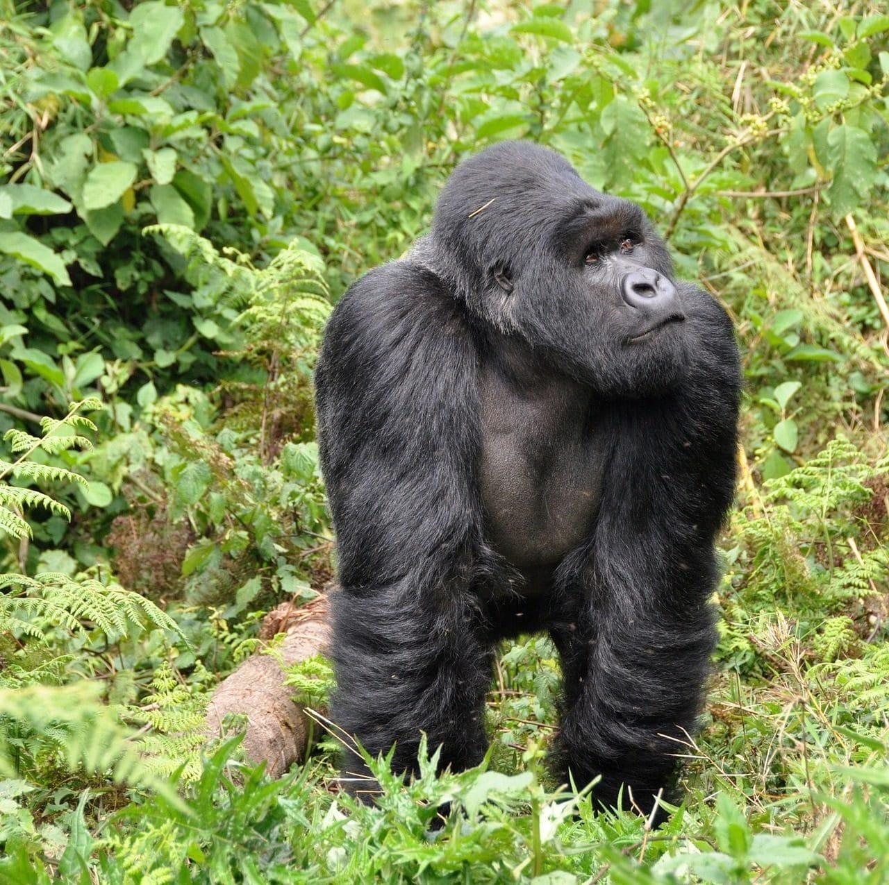 Gorilla and Chimp Trek in Rwanda Tour