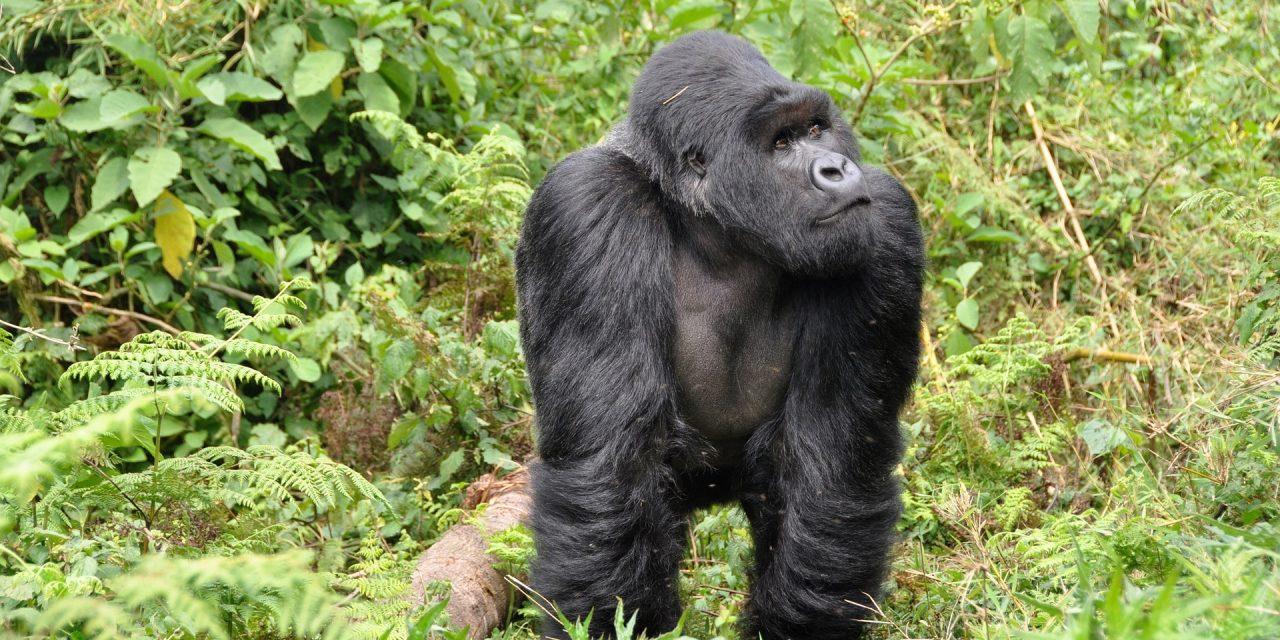https://www.safariventures.com/wp-content/uploads/2019/09/gorillas-474728_1920-1280x640.jpg