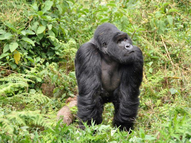 https://www.safariventures.com/wp-content/uploads/2019/09/gorillas-474728_1920-640x480.jpg