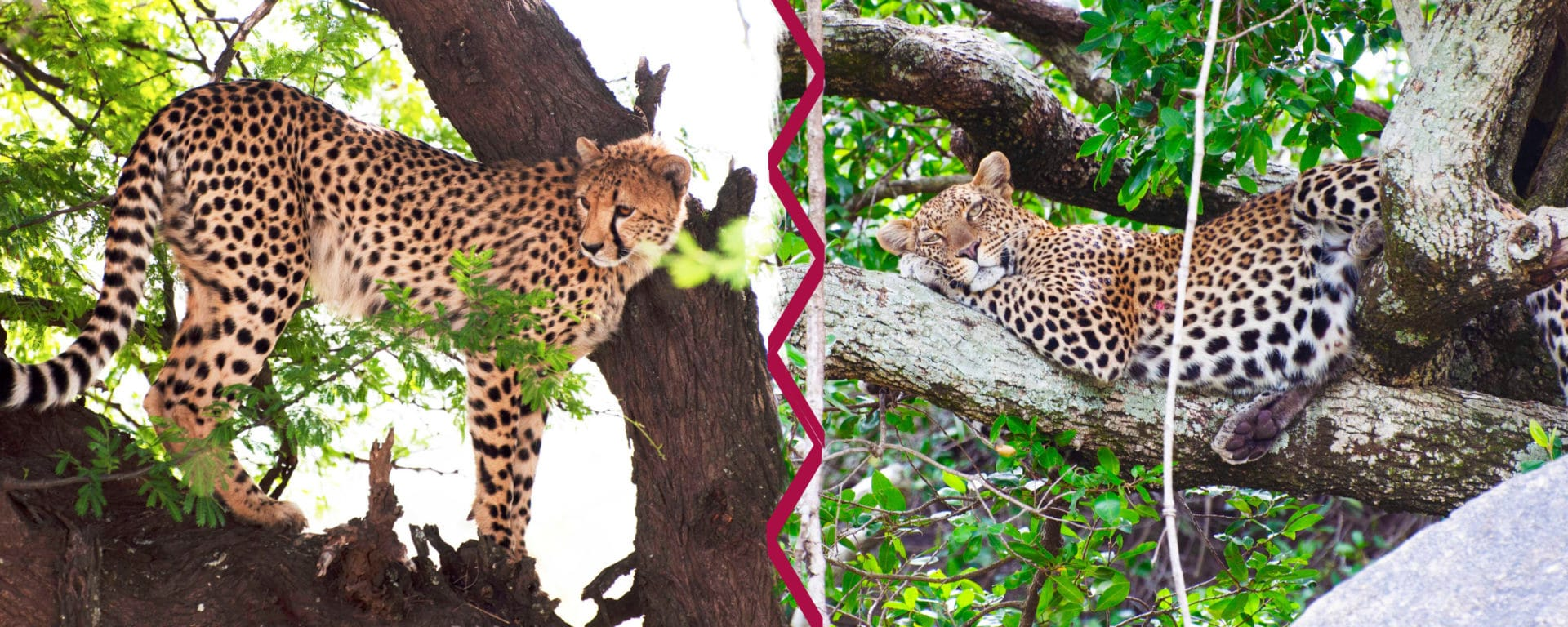 What's The Difference? Cheetah Vs Leopard | Safari Ventures