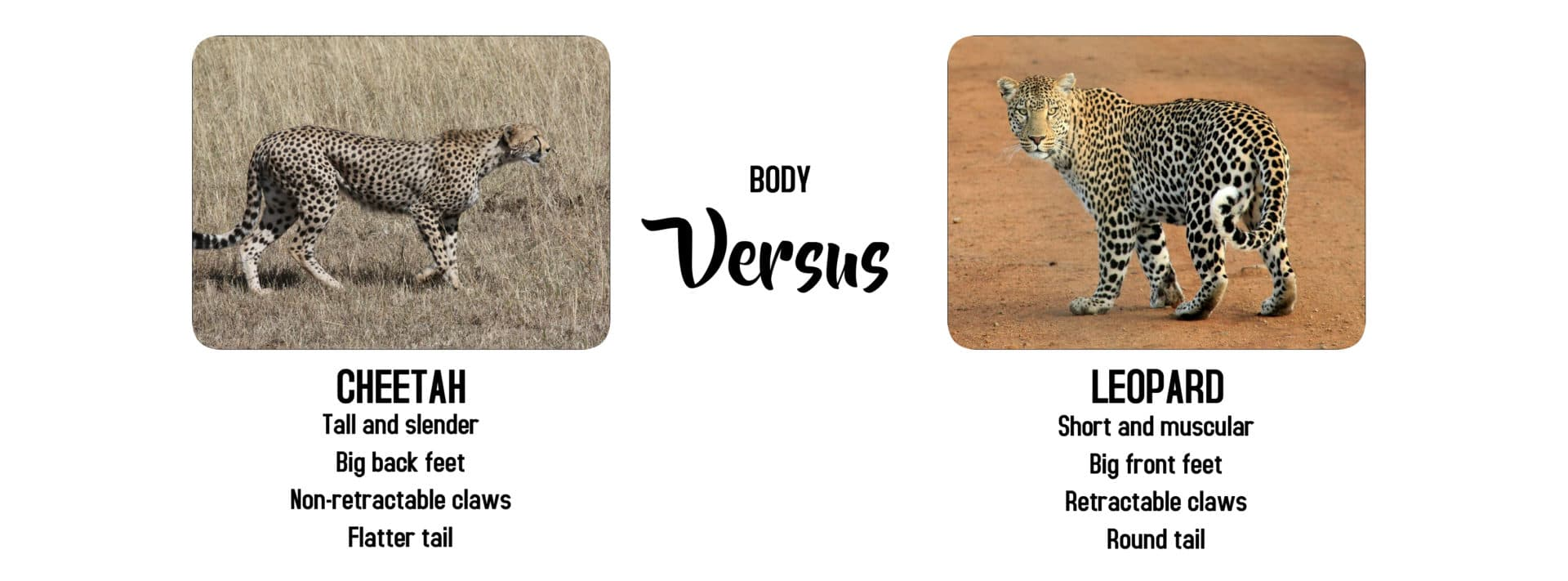 Cheetah versus Leopard body