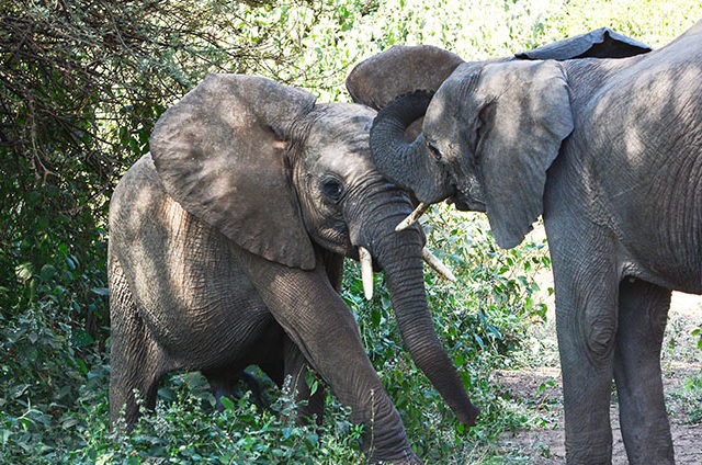 African Elephant Facts: Elephant Tusks