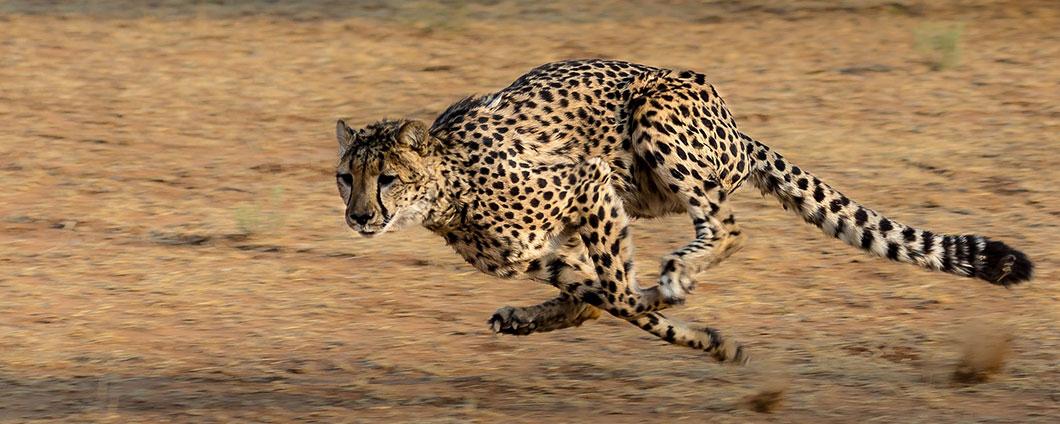 https://www.safariventures.com/wp-content/uploads/Cheeah-Running.jpg
