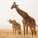 The Unique Sleeping Habits of Giraffes