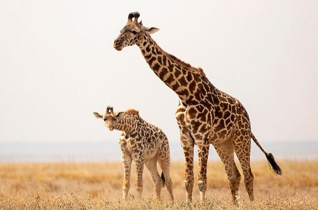 The Unique Sleeping Habits of Giraffes