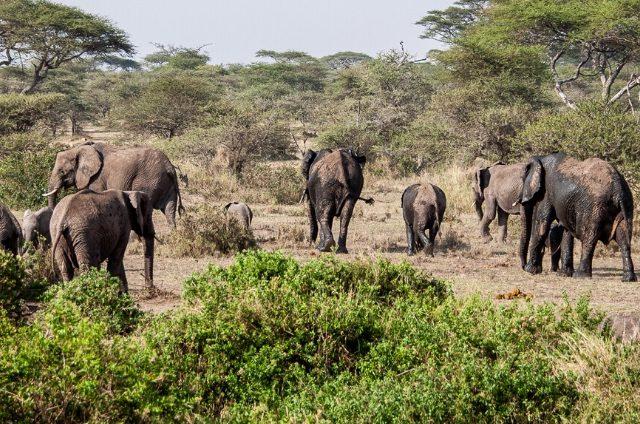 The Unique Sleeping Habits of African Elephants
