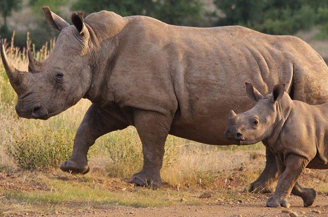 https://www.safariventures.com/wp-content/uploads/rhino-4477306_1920e-640x424.jpg