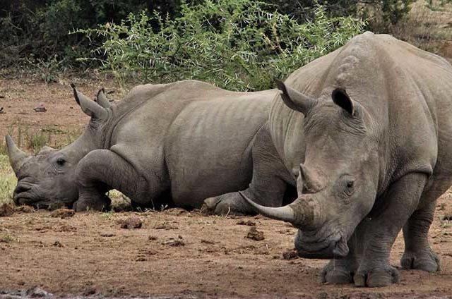 https://www.safariventures.com/wp-content/uploads/rhinoceros-4675919_1920w-640x424.jpg
