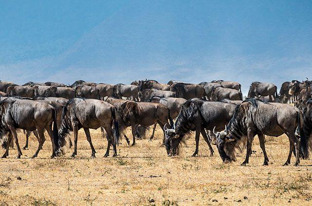 What is Wildebeest Migration Calving Season?
