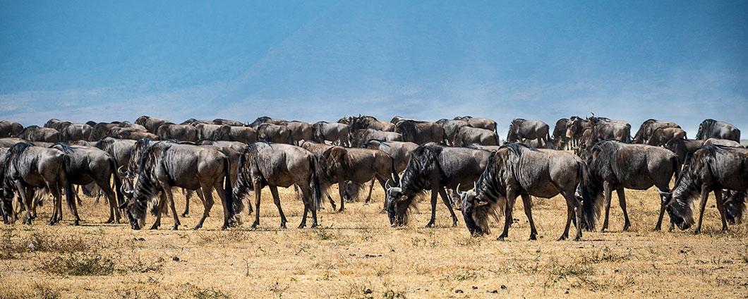 https://www.safariventures.com/wp-content/uploads/wildebeest-calving-season.jpg