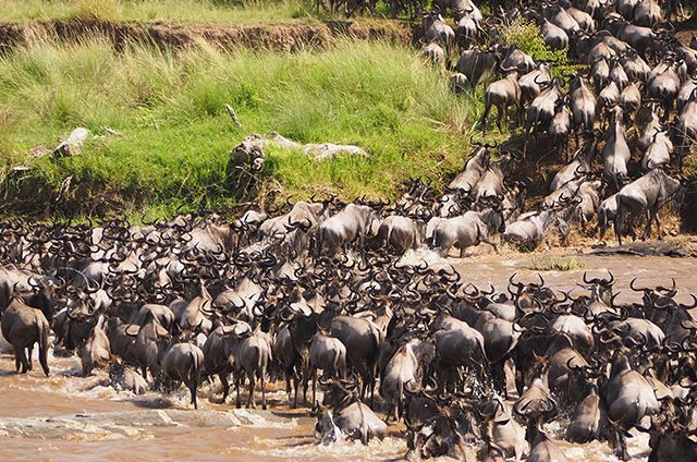 https://www.safariventures.com/wp-content/uploads/wildebeest-river-crossing-640x424.jpg